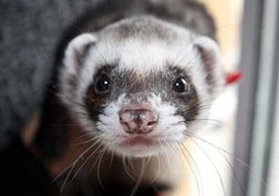 Ferret from Ainslie to Research