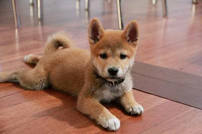 Shiba Inu Puppy from Worcestershire to Cheshire