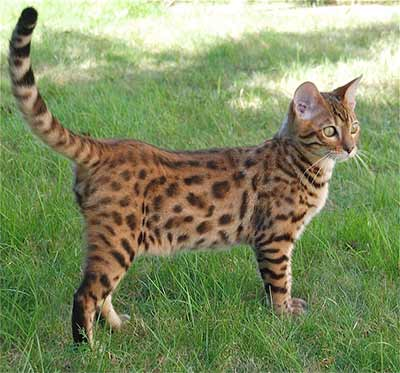 Bengal cat from London to Bristol