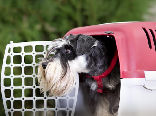 Haustier Hund wird für den Transport vorbereitet
